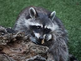 Greensboro Wildlife Removal